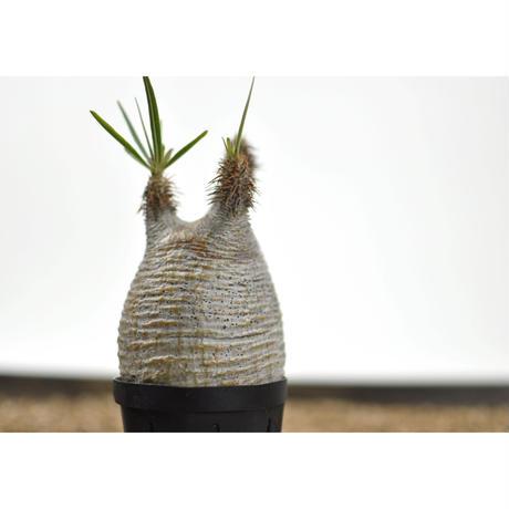 Pachypodium rosulatum var. gracilius〈幹幅7.1cm〉