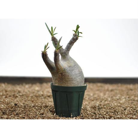 Pachypodium rosulatum var. gracilius〈幹幅7.6cm〉