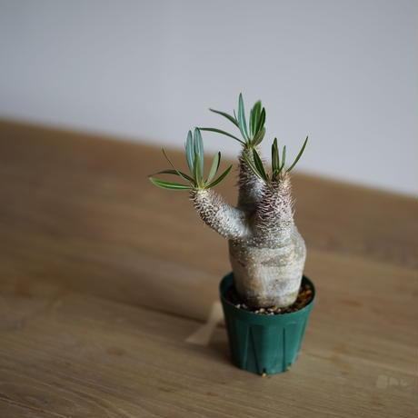 Pachypodium rosulatum var. gracilius〈幹幅6.9cm〉