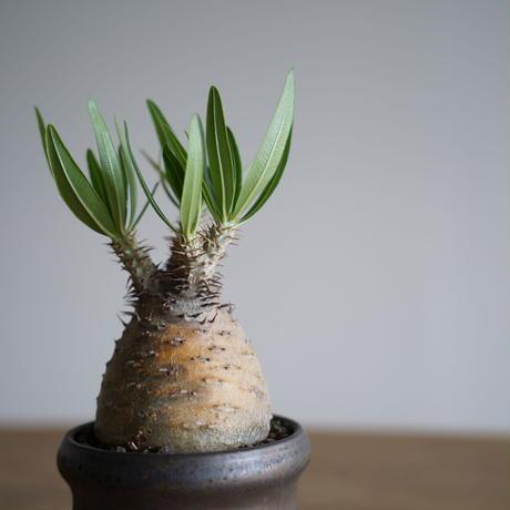 Pachypodium rosulatum var. gracilius × Tomoharu Nakagawa植木鉢〈幹幅7.4cm〉