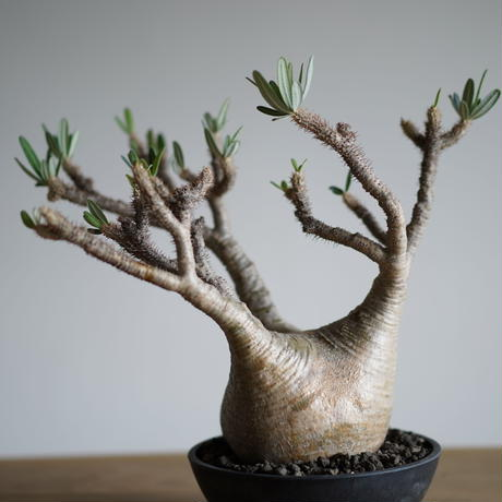 Pachypodium rosulatum var. gracilius〈幹幅14.4cm〉