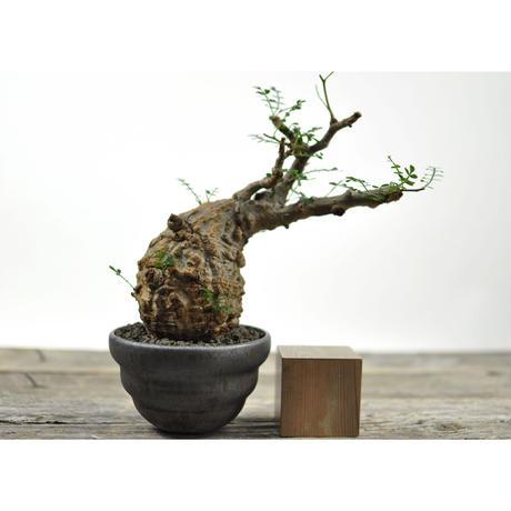 Operculicarya  pachypus × Tomoharu Nakagawa植木鉢〈幹幅8.3cm〉