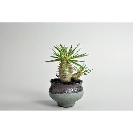 Pachypodium rosulatum var. gracilius seedling