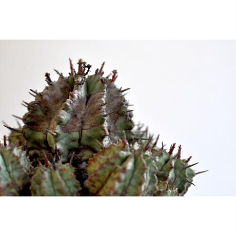 Euphorbia horrida major
