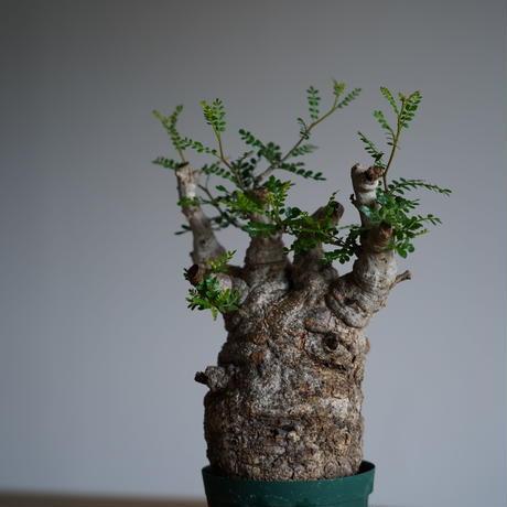 Operculicarya  pachypus 〈幹幅9.5cm〉