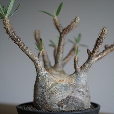 Pachypodium rosulatum var. gracilius〈幹幅16.4cm〉