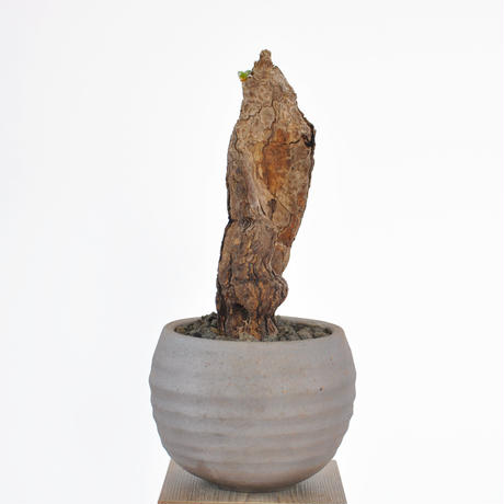 Pelargonium triste 3102282