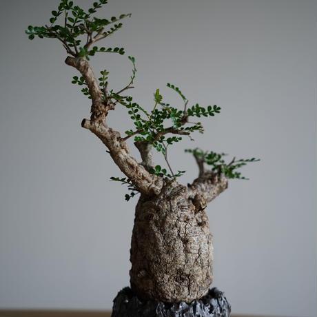 Operculicarya  pachypus  × Tomoharu Nakagawa植木鉢〈幹幅9.3cm〉