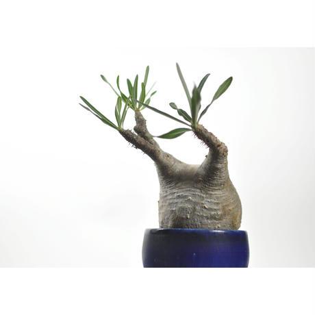 Pachypodium rosulatum var. gracilius × Tomoharu Nakagawa植木鉢〈幹幅10.3cm〉