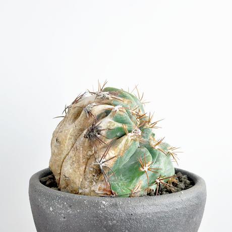 Echinocactus horizonthalonius f. monst 太平丸モンスト