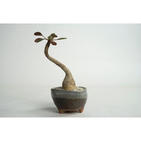 Euphorbia ramena no.0109031