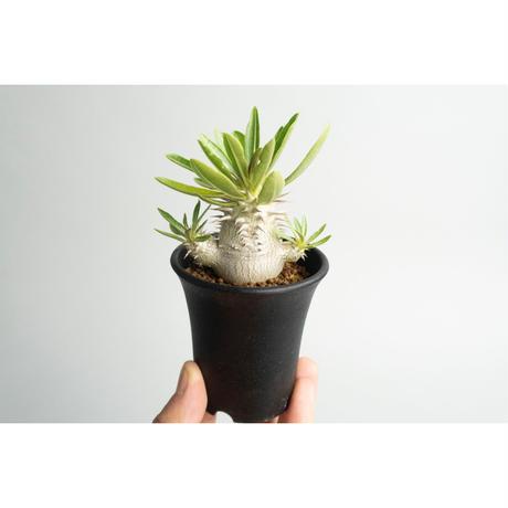 Pachypodium densicaule 恵比寿大黒 seedling no.0109074
