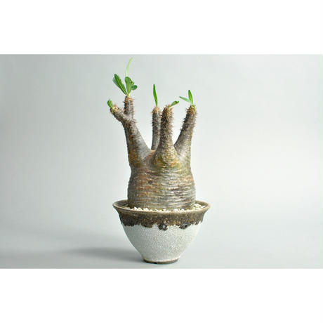 Pachypodium rosulatum var. gracilius × Tomoharu Nakagawa植木鉢 no.0109142