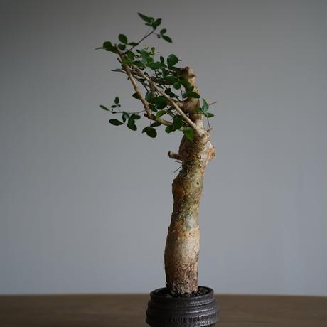 Commiphora humberti   × Tomoharu Nakagawa植木鉢〈幹幅5.7cm〉