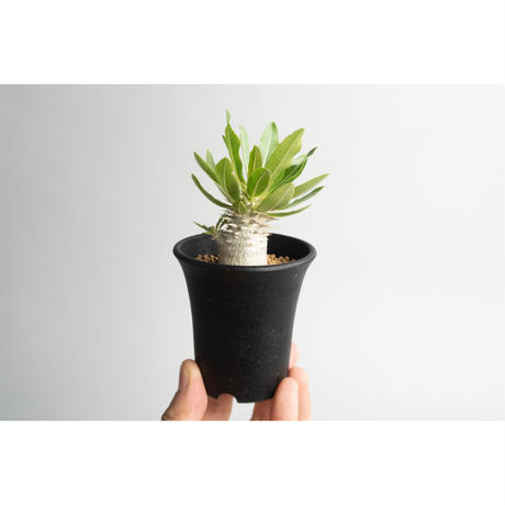Pachypodium densicaule seedling 恵比寿大黒 no.0109071