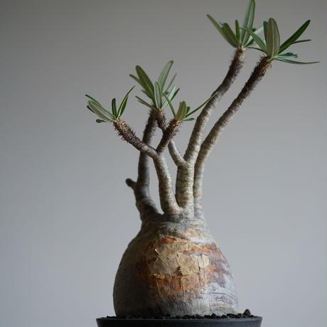 Pachypodium rosulatum var. gracilius〈幹幅14.7cm〉