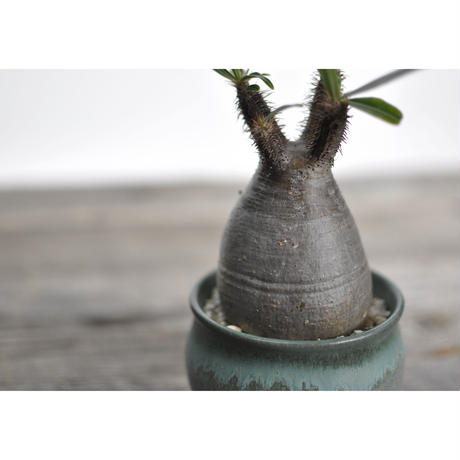 Pachypodium rosulatum var. gracilius × Tomoharu Nakagawa植木鉢〈幹幅6.7cm〉