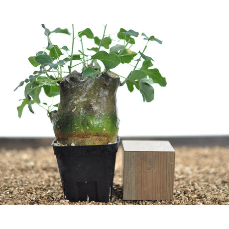 Adenia spinosa No.0209172