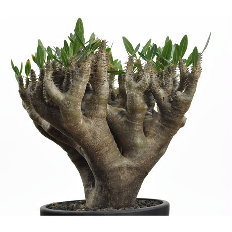 Pachypodium densiflorum var. brevicalyx(幹幅7.9cm)