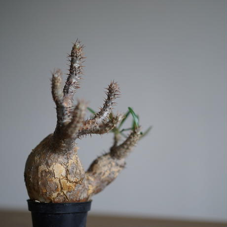 Pachypodium rosulatum var. gracilius〈幹幅11.0cm〉