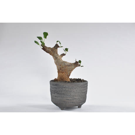 Commiphora guidottino.0107252
