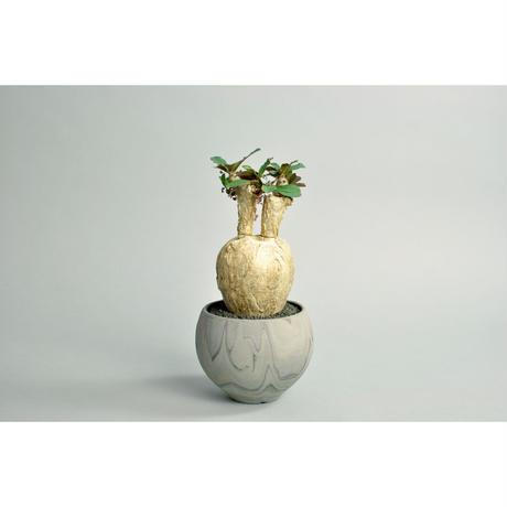 Euphorbia subapoda