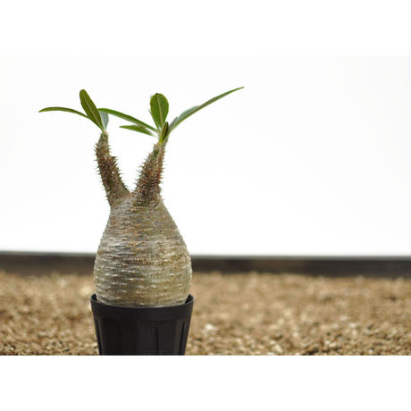 Pachypodium rosulatum var. gracilius〈幹幅7.0cm〉