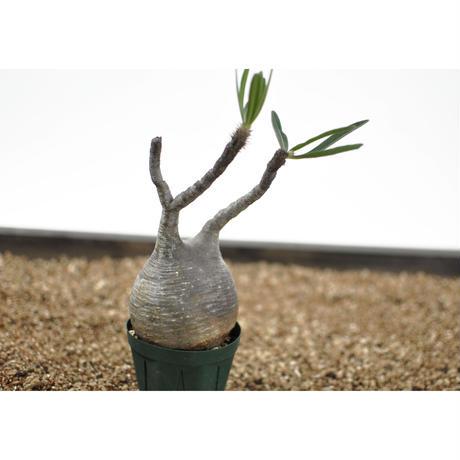 Pachypodium rosulatum var. gracilius〈幹幅8.8cm〉