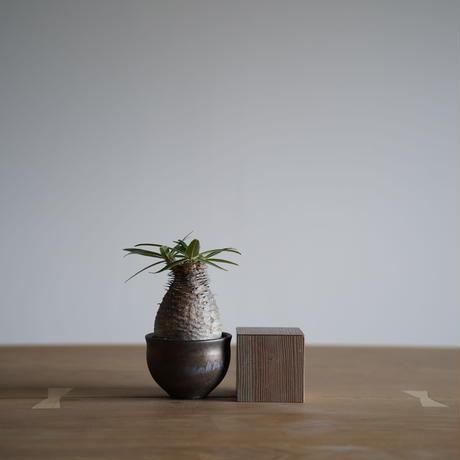 Pachypodium rosulatum var. gracilius × Tomoharu Nakagawa植木鉢〈幹幅6.3cm〉
