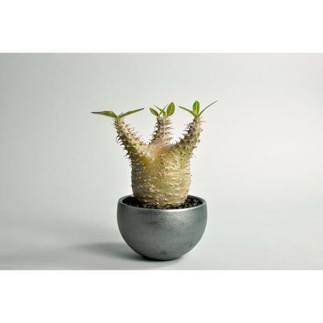 Pachypodium rosulatum var.cactipes