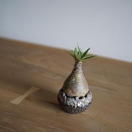 Pachypodium rosulatum var. gracilius × Tomoharu Nakagawa植木鉢〈幹幅5.8cm〉