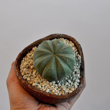 Euphorbia obesa   3009242