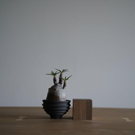 Pachypodium rosulatum var. gracilius × Tomoharu Nakagawa植木鉢〈幹幅6.5cm〉
