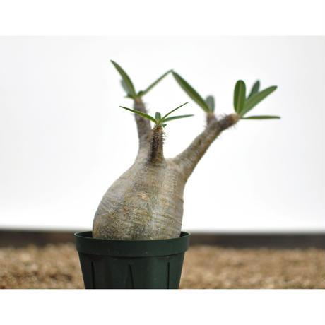 Pachypodium rosulatum var. gracilius〈幹幅7.2cm〉