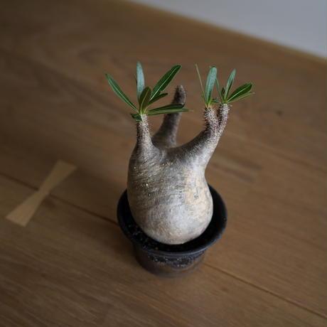 Pachypodium rosulatum var. gracilius × Tomoharu Nakagawa植木鉢〈幹幅9.0cm〉