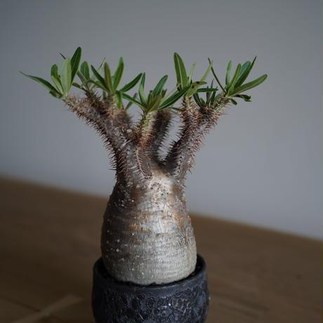 Pachypodium rosulatum var. gracilius × Tomoharu Nakagawa植木鉢〈幹幅9.1cm〉