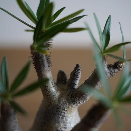 Pachypodium rosulatum var. gracilius × Tomoharu Nakagawa植木鉢〈幹幅6.6cm〉