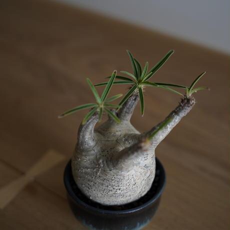 Pachypodium rosulatum var. gracilius × Tomoharu Nakagawa植木鉢〈幹幅7.6cm〉