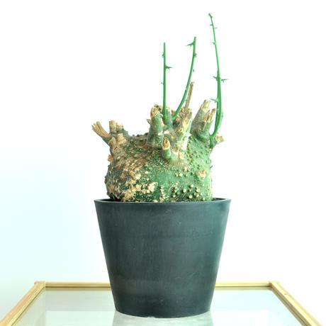 Adenia globosa no.1