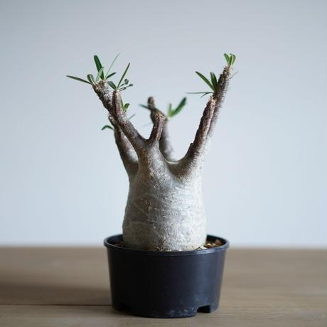 Pachypodium rosulatum var. gracilius〈幹幅10.1cm〉