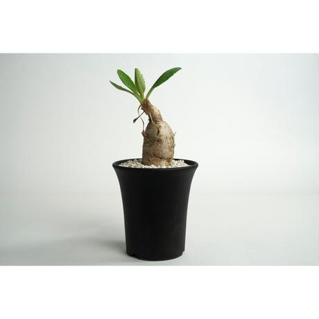 Euphorbia subapoda no.0109031