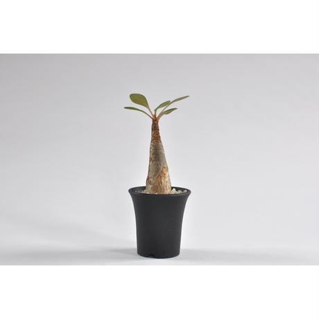 Euphorbia ramena no.0107251