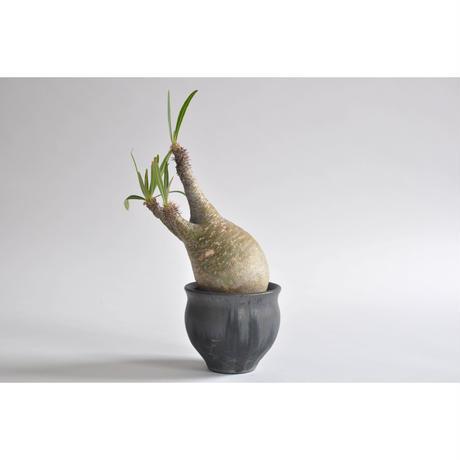 Pachypodium rosulatum var. gracilius no.0108093 × Tomoharu Nakagawa植木鉢