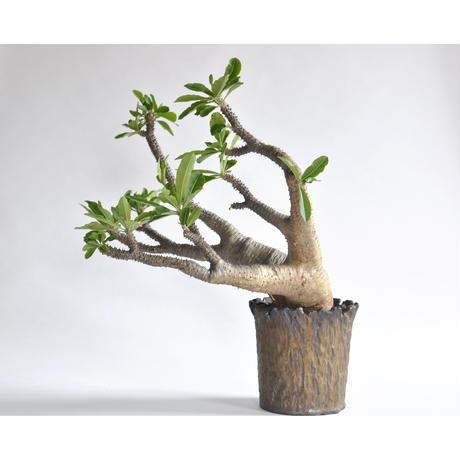 Pachypodium makayense × Tomoharu Nakagawa植木鉢