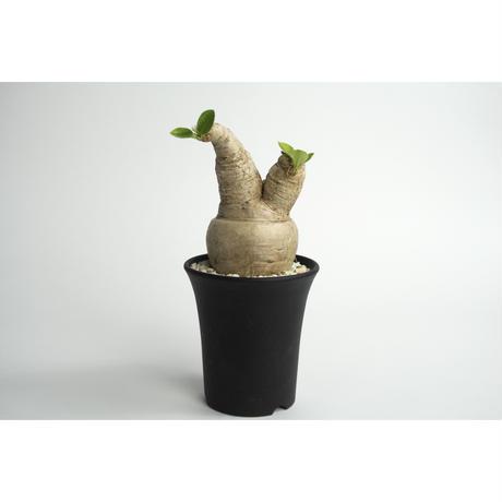 Euphorbia primlifolia no.0108211