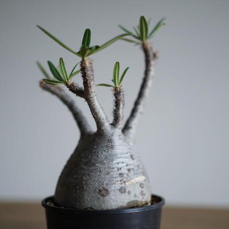 Pachypodium rosulatum var. gracilius〈幹幅11.4cm〉