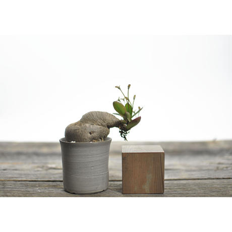 Euphorbia sp. nova ranohira no.0206211