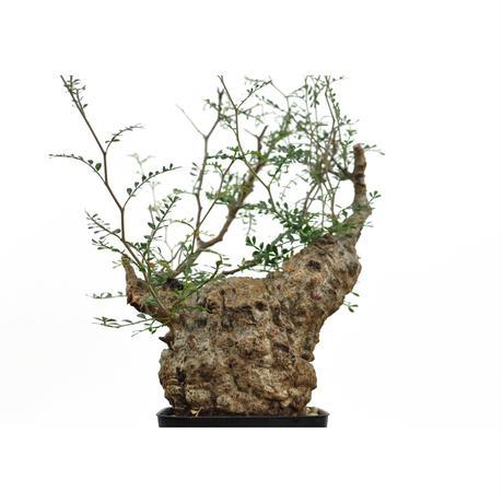 Operculicarya  pachypus〈幹幅10.0cm〉