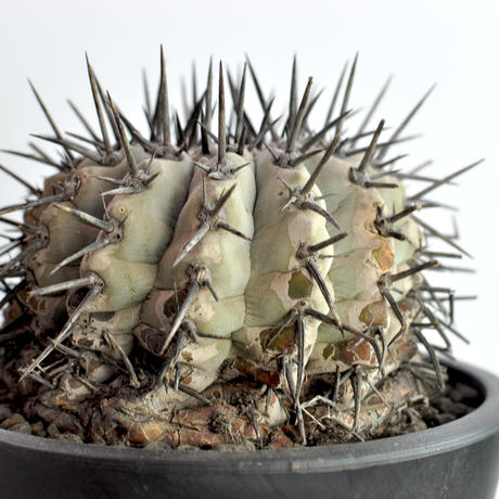 黒王丸 Copiapoa cinerea no.2