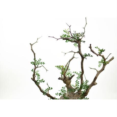 Operculicarya  pachypus〈幹幅9.5cm〉